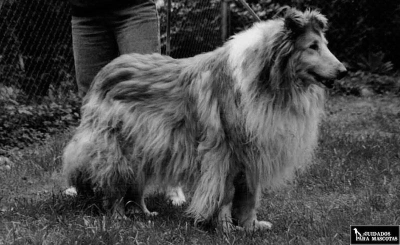 Los perros mayores presentan más complicaciones de salud