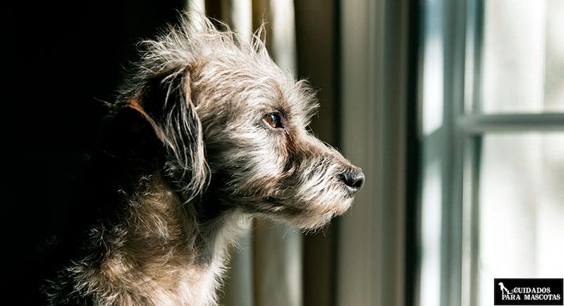 Los perros mayores acusan más la soledad