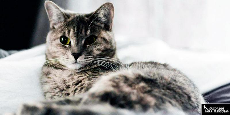 La anemia puede aparecer en gatos con problemas renales