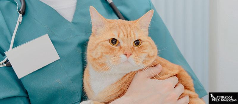 Enfermedad renal en gatos adultos