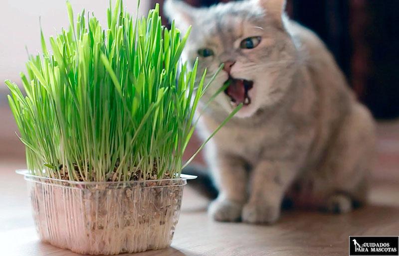 La hierba ayuda a que tu gato no muerda las plantas
