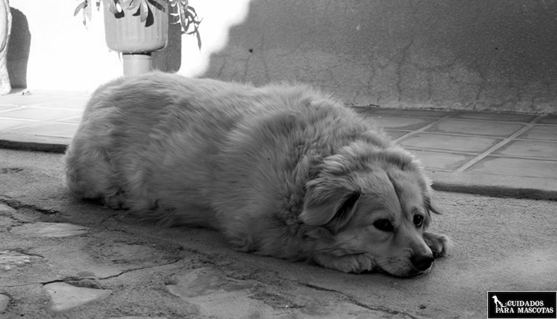 tu perro puede deprimirse a causa del sobrepeso