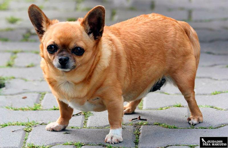 Condroprotectores para perros con sobrepeso
