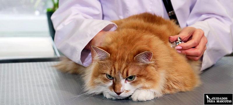 Antiparasitarios para gatos contra las tenias