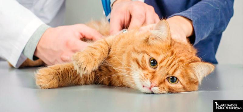 Peligros de la suplementación en gatos