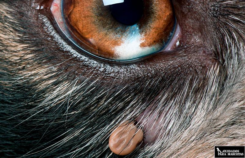 Las garrapatas prefieren los ojos y las orejas