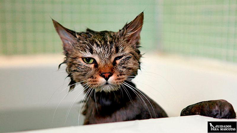 Bañar a los gatos de exterior es beneficioso