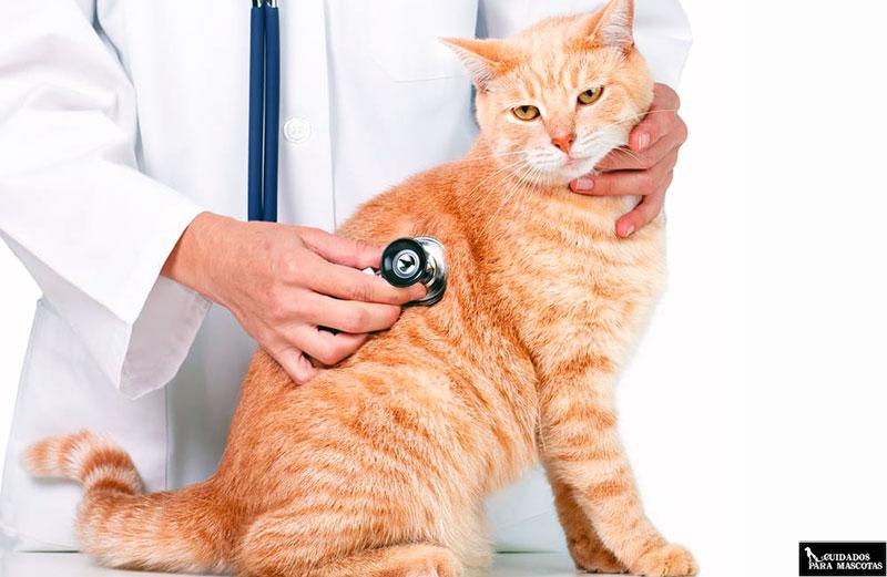 La visita al veterinario es esencial para diagnosticar FLUTD