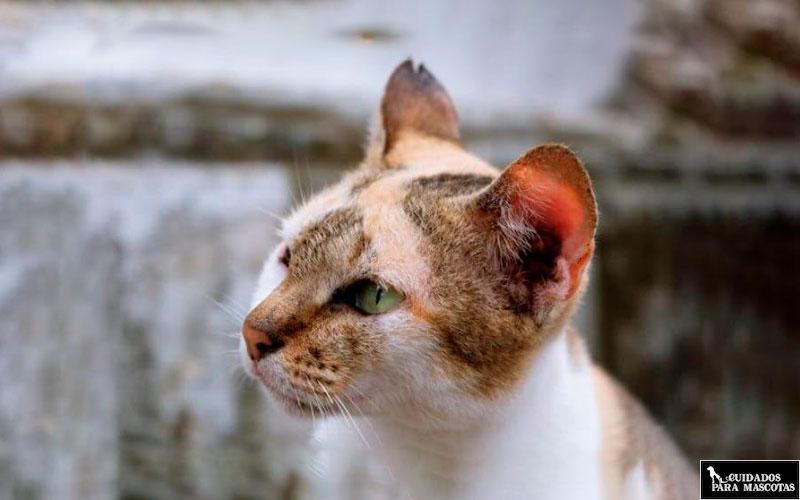 Efectos de la tiña en gatos