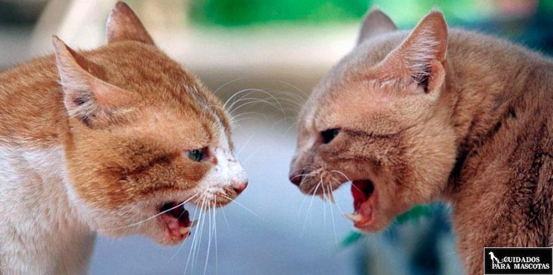 Aprende a evitar las peleas de gatos en casa