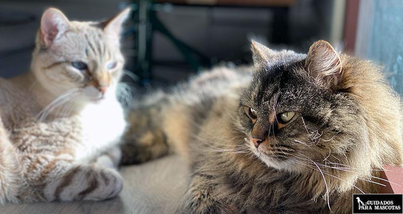 Evita las peleas para gatos al esterilizarlos
