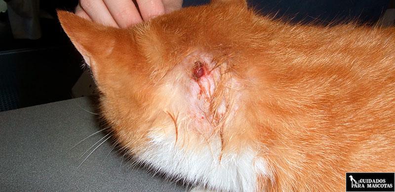 Gato herido por pelea
