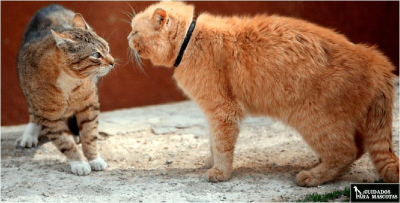 Así puedes acabar con las peleas de gatos en casa