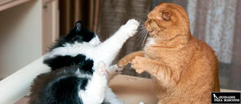 Evita las peleas de gatos