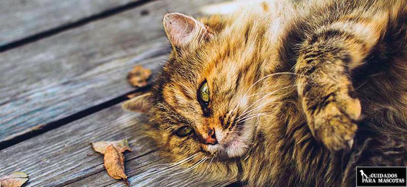 Cepillado para gatos de pelo largo