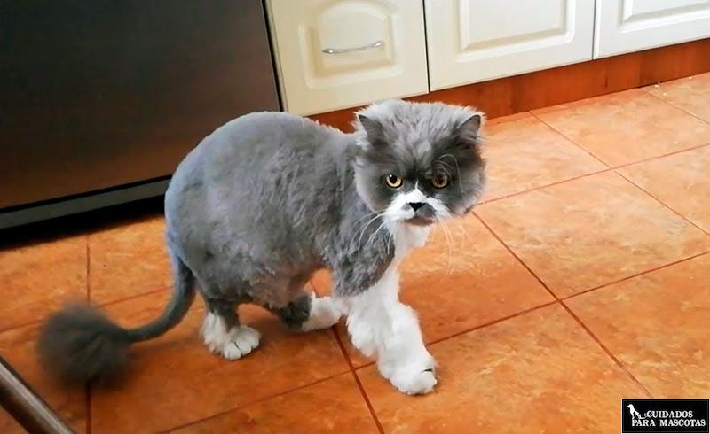 ¿Es aconsejable cortarle el pelo a mi gato?