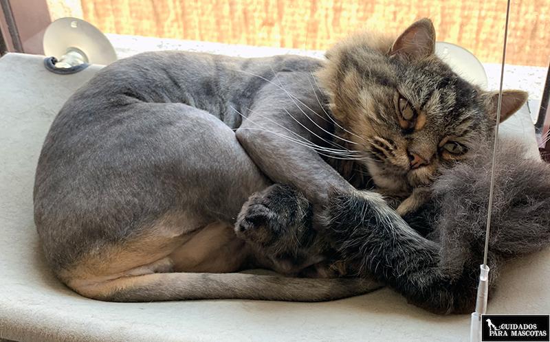 Cortarle el pelo a mi gato en verano