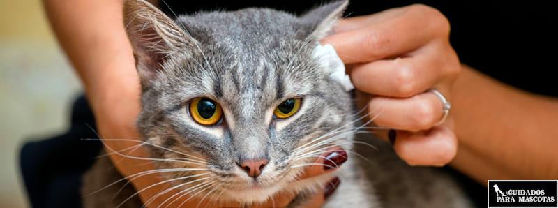 Trucos y consejos para limpiar las orejas de tu gato