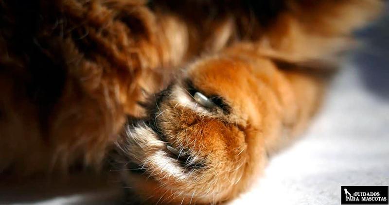 Uñas de gatos cortadas
