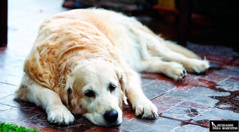 Hyaloral para perros con dolores