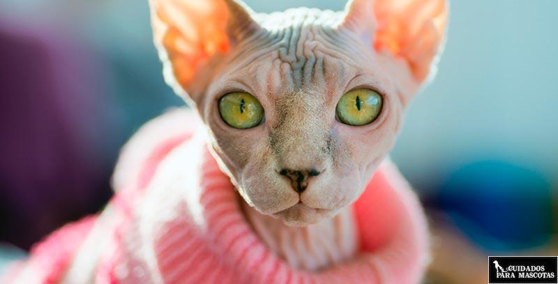 Abrigos para tu gato sphynx