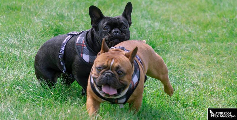 Pedos en el bulldog francés