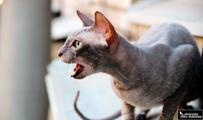 Cuidados para el gato esfinge