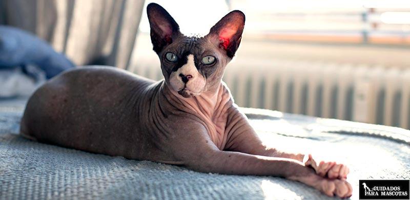 A los gatos sphynx les encantan las habitaciones calentitas