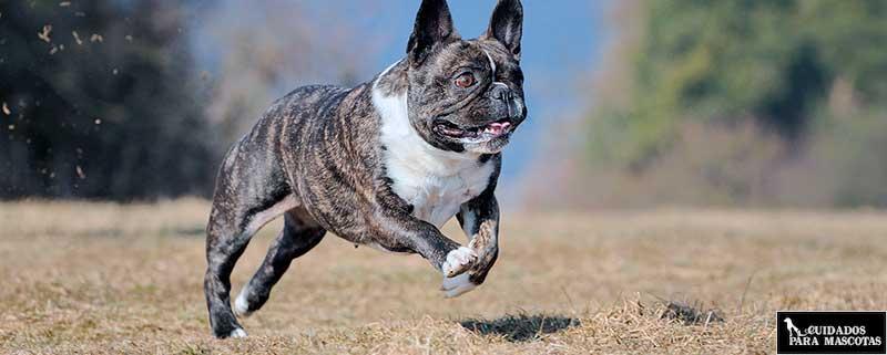 Bulldog francés ejercitándose y paseando