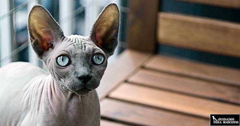 Las orejas del gato sphynx requieren cuidados especiales