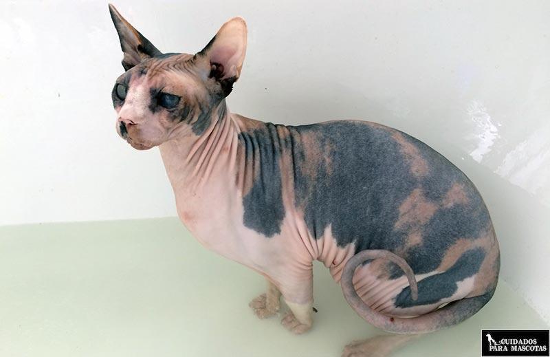 Pasos para bañar con éxito a un gato Sphynx