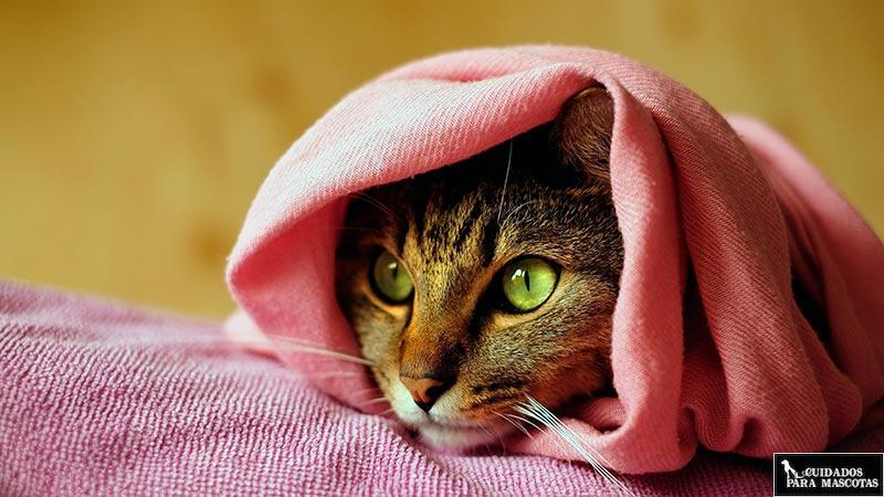 Envuelve a tu gato en una toalla