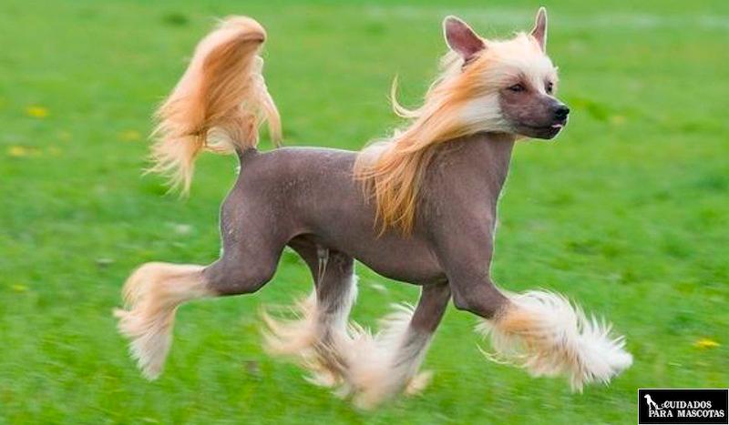Perro sin pelo